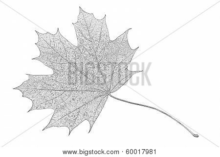 Photocopy Of A Maple Leaf