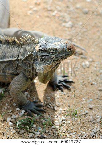 Komodo Dragon Sitting On The Sand Under The Sun
