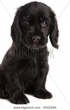 Cute Cocker Spaniel Puppy