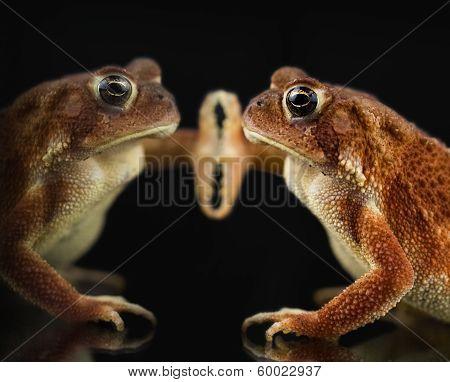 American Toad Bufo Americanus