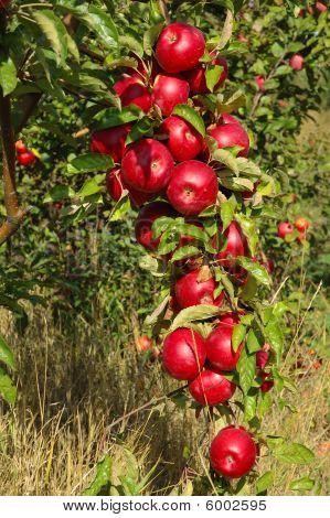 Shiny delicious apples