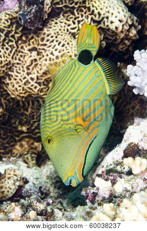 An exotic, tropical range lined triggerfish feeds vertically on a coral reef in Fiji