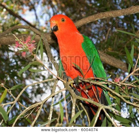 King Parrot Alisterus Scapularis Australian Red Headed Male Bird
