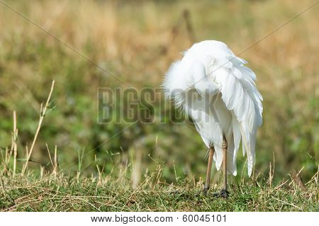 Intermediate Egret Preening Under Its Wing
