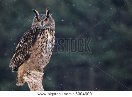 Majestic Eurasian Eagle-Owl