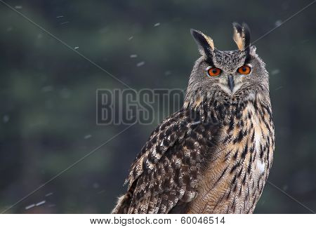 Eurasian Eagle-Owl Portrait