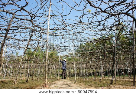 Caring for Vine At Vine Garden
