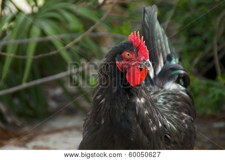 Portrait Of Black Maran Rooster