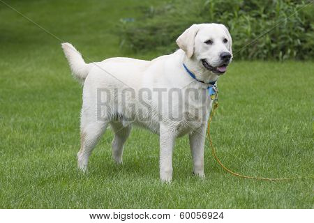 Rudy The Yellow Lab Puppy Wet