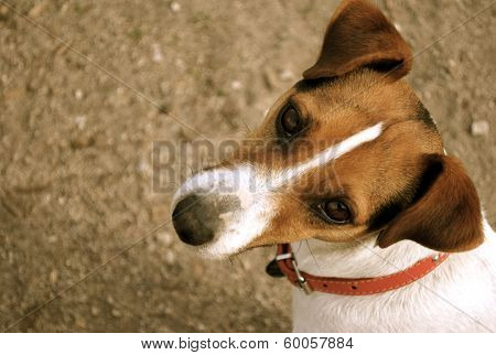 Perky Jack Russell