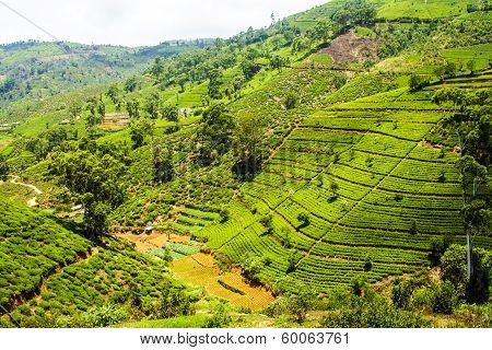 Green Tea Plantation In Sri Lanka
