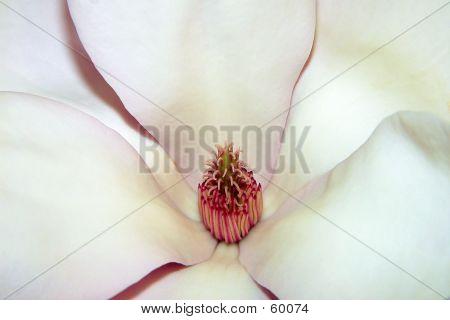 Magnolia Closeup 2