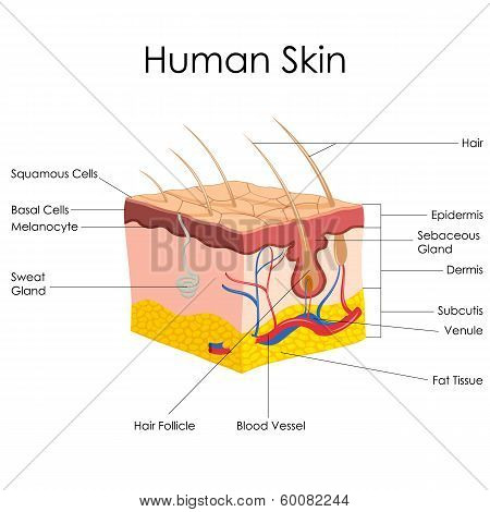 Human Skin Anatomy