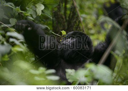 Mountain Gorilla In Volcanoes National Park, Rwanda