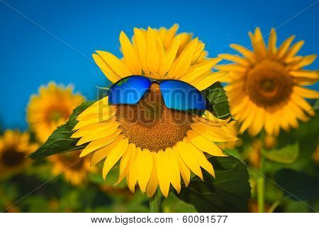 sunflowers in sun glasses on a blue sky background