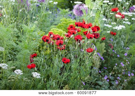 Poppies In A Spring Garden