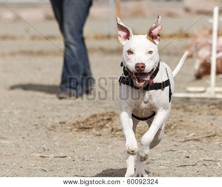 White pitbull mix running