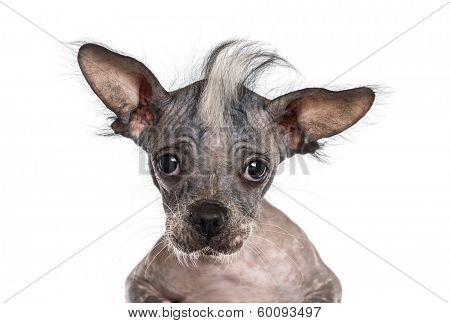 Close-up of a Chinese crested dog looking at the camera, isolated on white