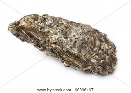 Whole single Pacific oyster on white background