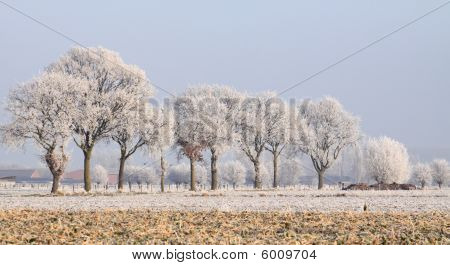 Row of ice-covered oak trees