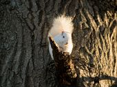 picture of albinos  - Rare white squirrel in a tree in the city park in Olney Illinois one of the few places were a large number of them exist. The squirrels are not albino but have white fur from leucism.