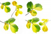 pic of alder-tree  - Collage alder autumn leaves on a white background - JPG