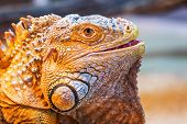 foto of godzilla  - Iguana The green iguana is a large arboreal mostly herbivorous species of lizard of the genus Iguana native to Central South America and the Caribbean - JPG