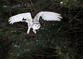 stock photo of snowy owl  - A Snowy Owl  - JPG
