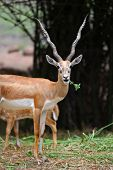 stock photo of black tail deer  - Black buck and spotted deers - JPG