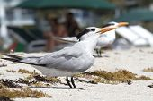 picture of tern  - Terns standing in the sand of Miami Beach Florida  - JPG