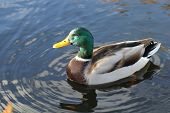 stock photo of male mallard  - Beautiful male drake mallard flotting on a pond