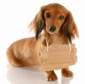 picture of sad dog  - long haired miniature dachshund wearing cardboard sign around neck - JPG