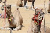foto of dromedaries  - Chewing dromedary camel in nomadic camp at cattle fair holiday in Pushkar town - JPG