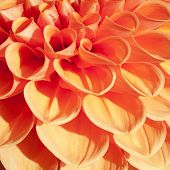 stock photo of quadrangles  - Firy orange bulb Dahlia in extreme close up and in a square frame - JPG