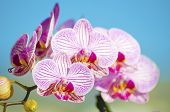 stock photo of rare flowers  - A close up of a branch with blossomed pink striped petals of the beautiful flower orchid Phalaenopsis - JPG