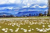 image of snow goose  - Snow Geese Feeding Snow Mountains Skagit Valley Washington - JPG