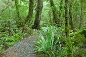 Temperate rain forest, Fiordland National Park, South Island, New Zealand.Track - Lake Gunn Nature W
