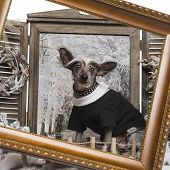 Dressed up Chinese crested dog in a winter scenery with frame, 9 months old