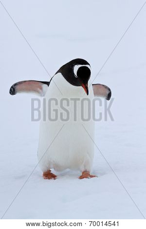 Gentoo Penguin Walking On Snow Winter Overcast Day