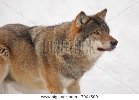 Alert Wolf