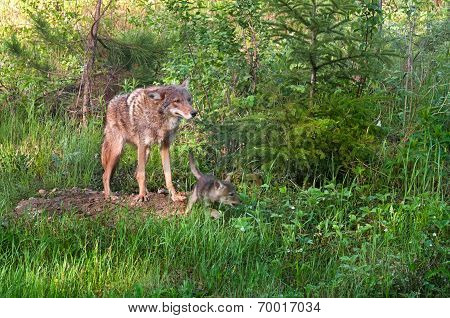 Coyote (canis Latrans) Stands At Den - Pup Runs Right