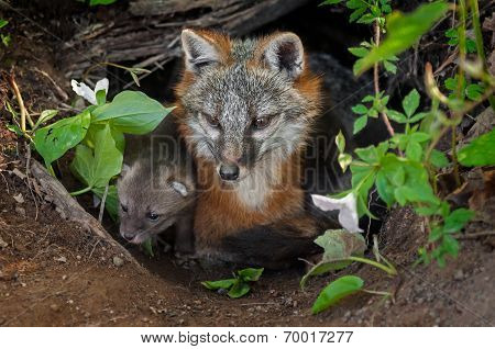 Grey Fox (urocyon Cinereoargenteus) And Kit Sit In Den Entrance