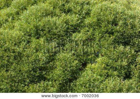 Salix, Willow, Sallow, Osier