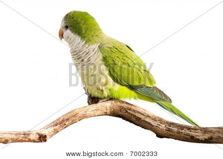 Monk Parrot Profiles Its Green Feathers