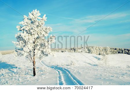 Lonely Pine Snow Covered On The Hill