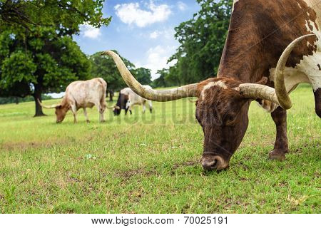 Texas Longhorn Cattle Grazing On Pasture