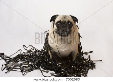 Pug in a pile of data tape