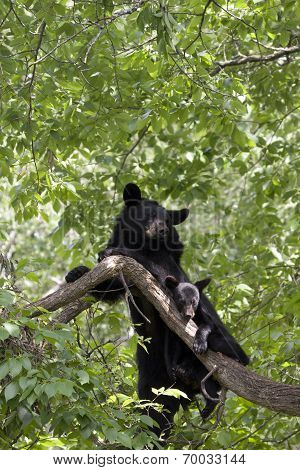 Momma Bear and Cub Snuggling in a Tree