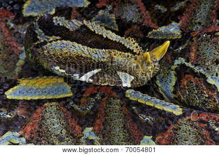 Rhinoceros viper / Bitis nasicornis