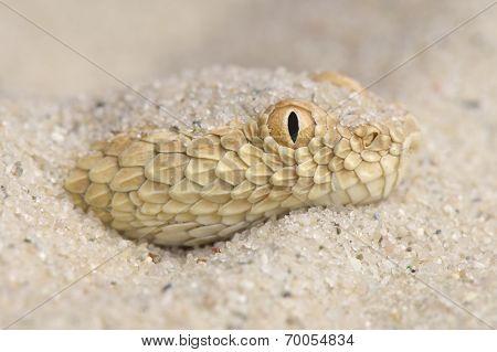 Sahara sand viper / Cerastes vipera